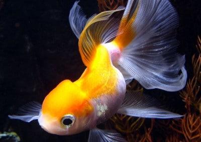 Златни риби