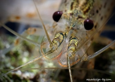 9-amano-shrimp